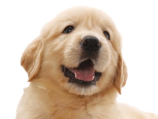 9月の仔犬出産予定                       ゴールデンレトリバー