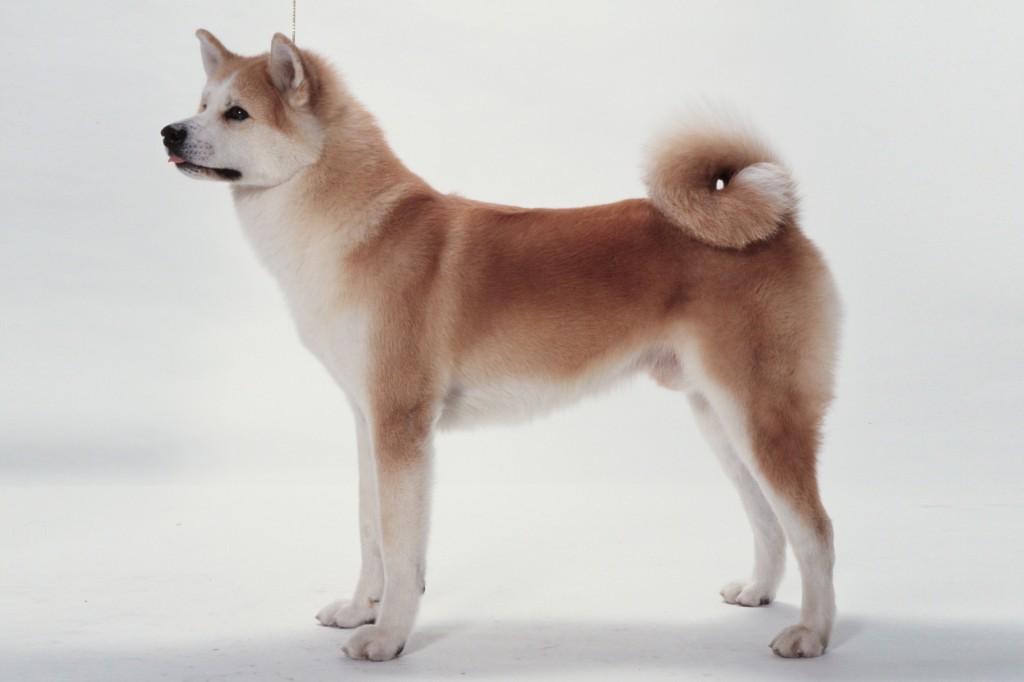 秋田犬の仔犬産まれています。