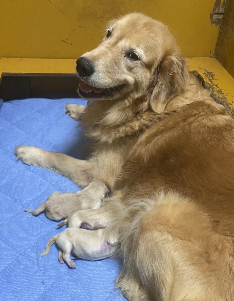 ゴールデンレトリバー 仔犬産まれました。2頭売約済みにつき、男の子1頭の予約受付となります。