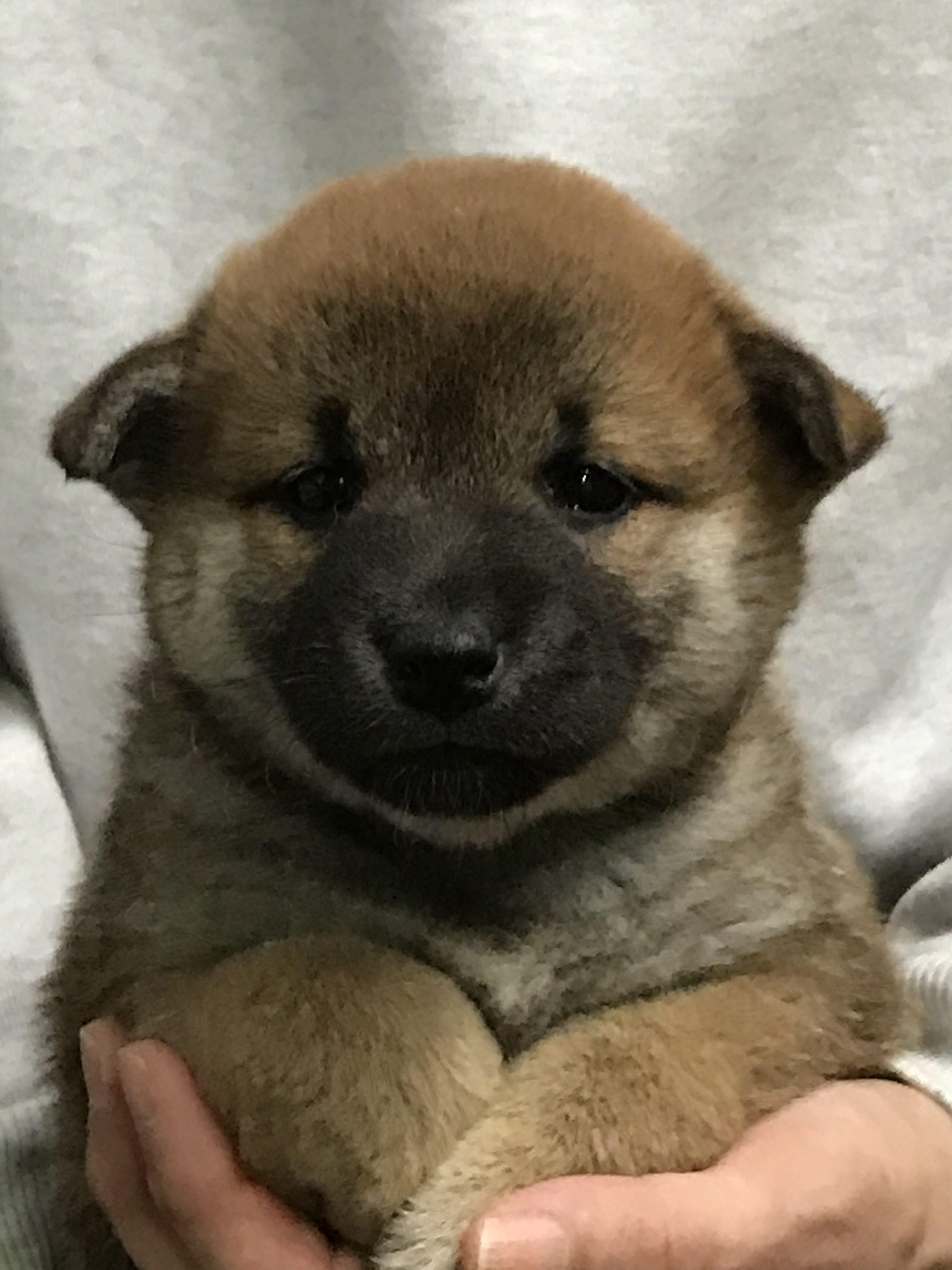 柴犬の仔犬産まれています。