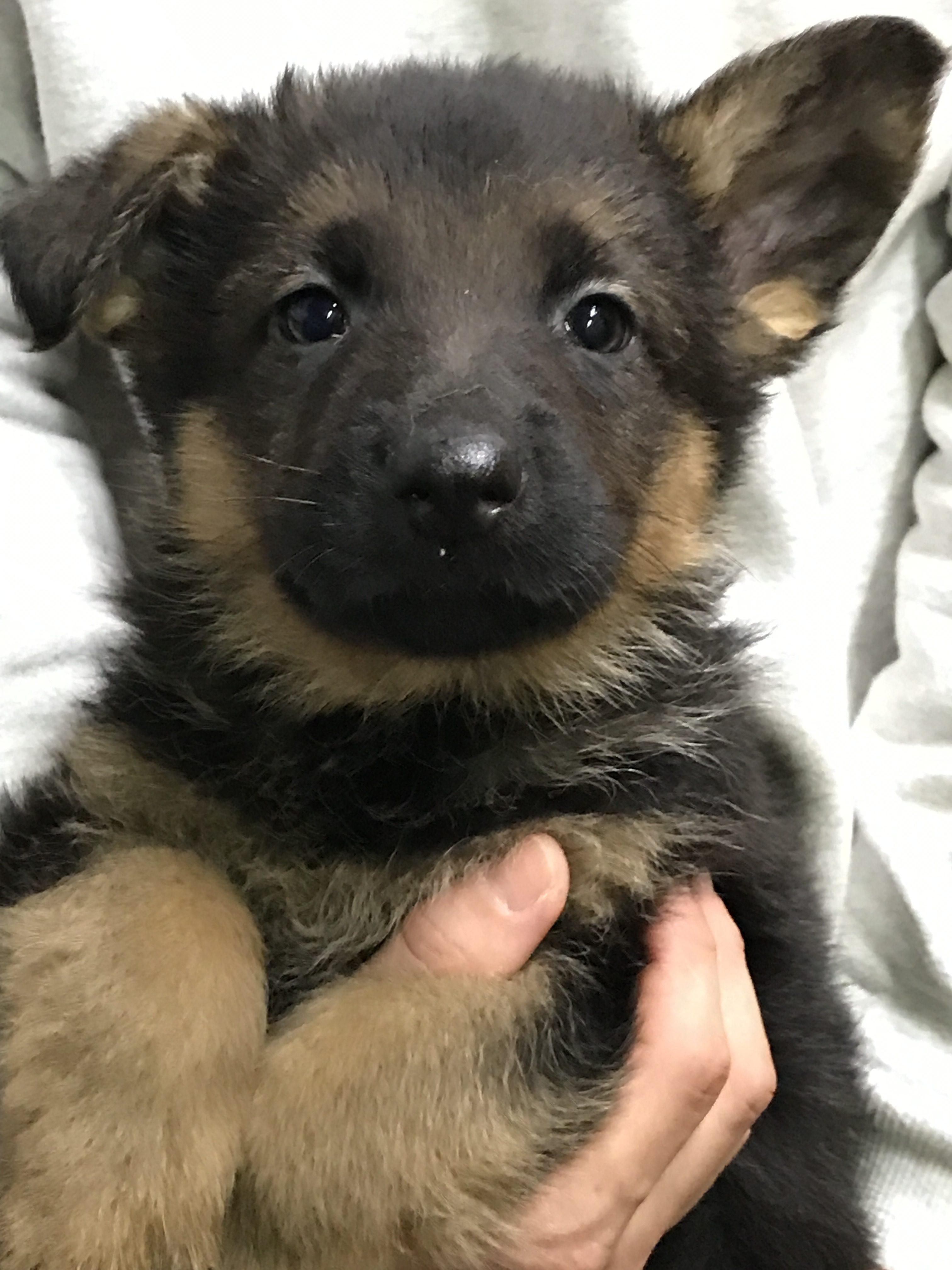 ジャーマンシェパードの仔犬産まれています。