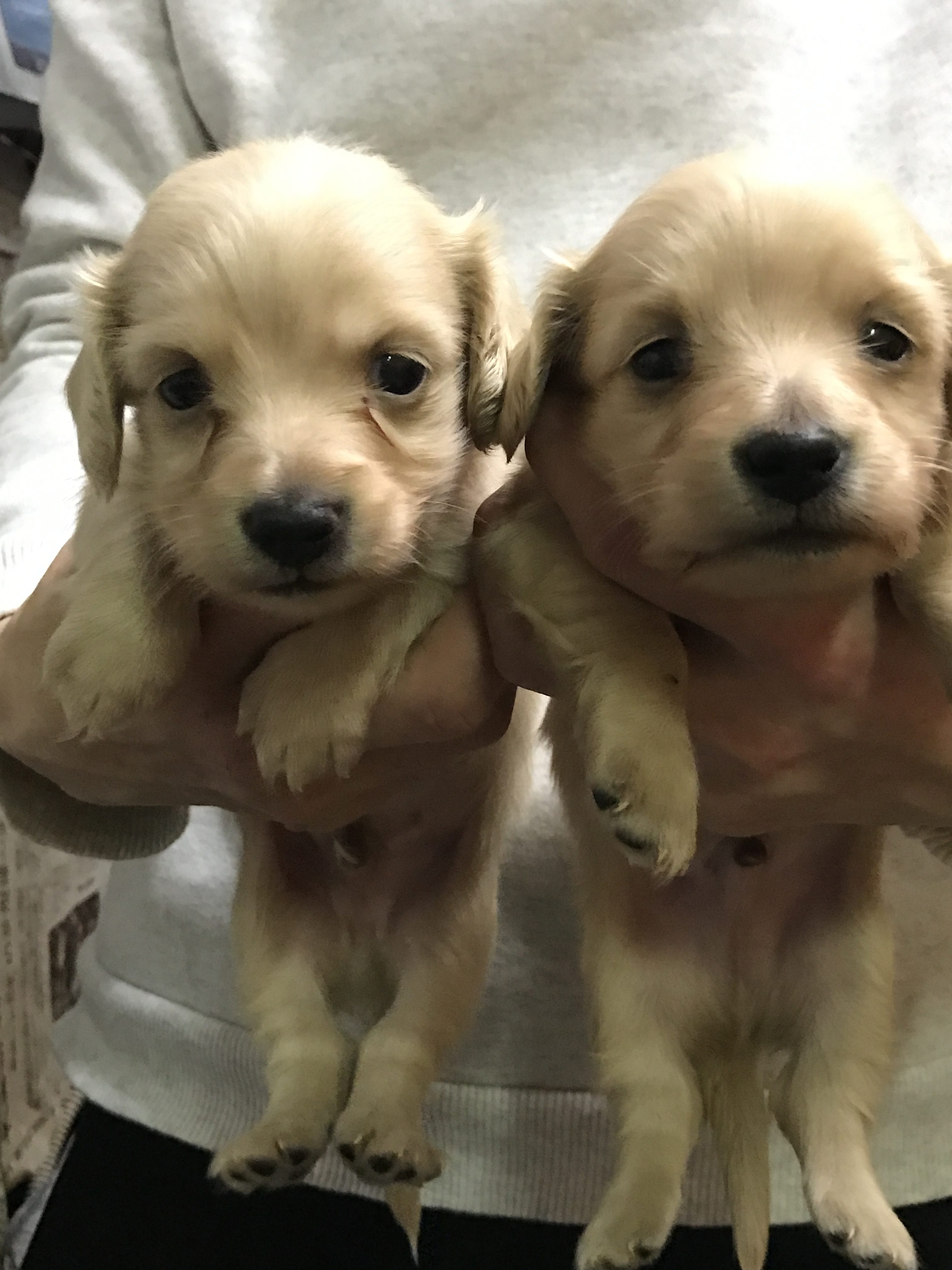 ダックスフントの仔犬産まれています。