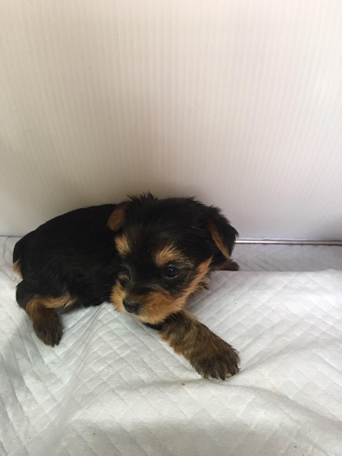 ヨークシャーテリアの仔犬産まれています。