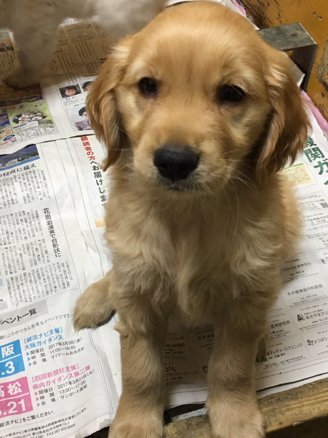 ゴールデンレトリバーの仔犬産まれてます。