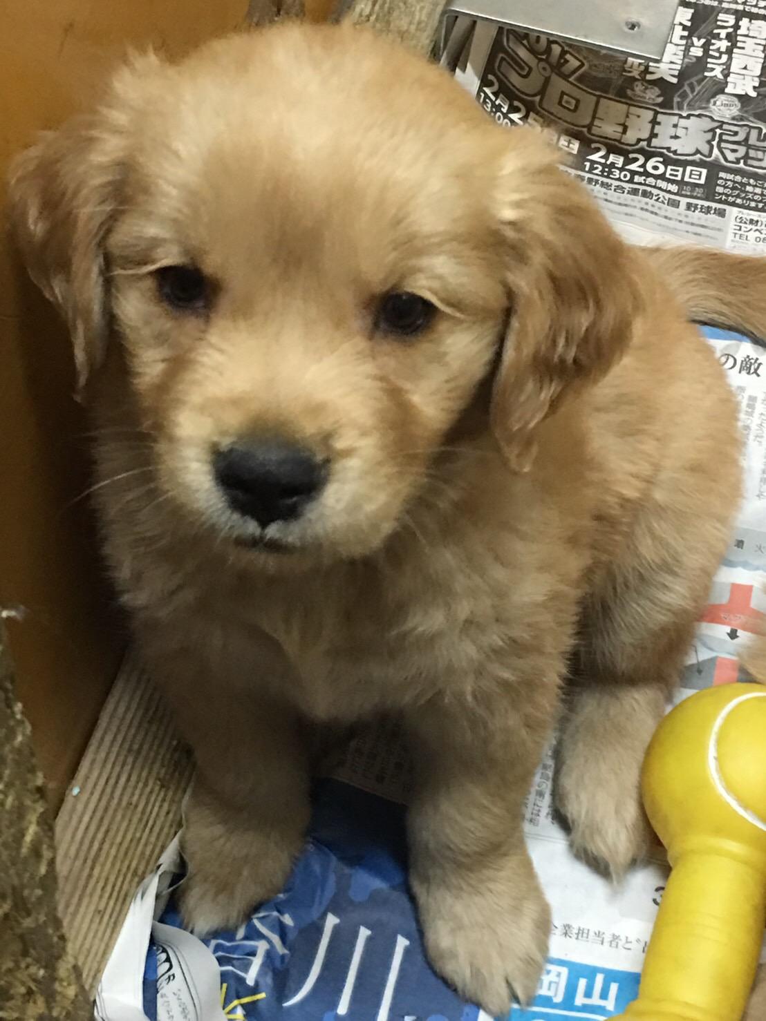 ゴールデンレトリバーの仔犬産まれています。