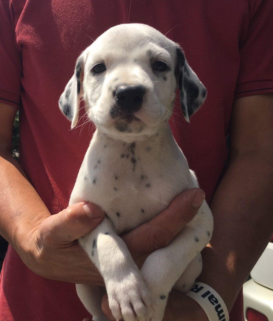ダルメシアンの仔犬。とても綺麗な仔犬です。