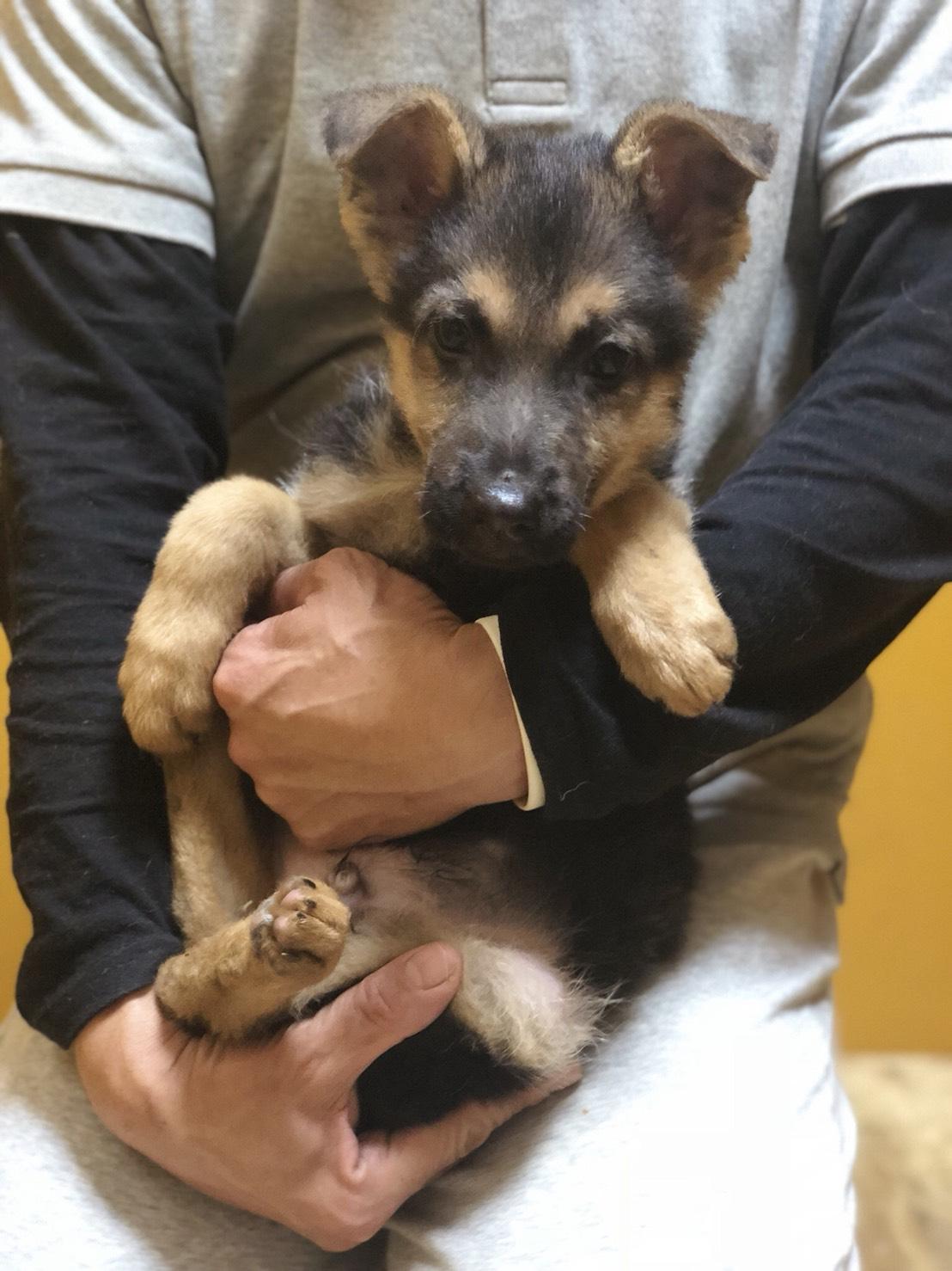 ジャーマンシェパードの仔犬        ご家族が決まりました