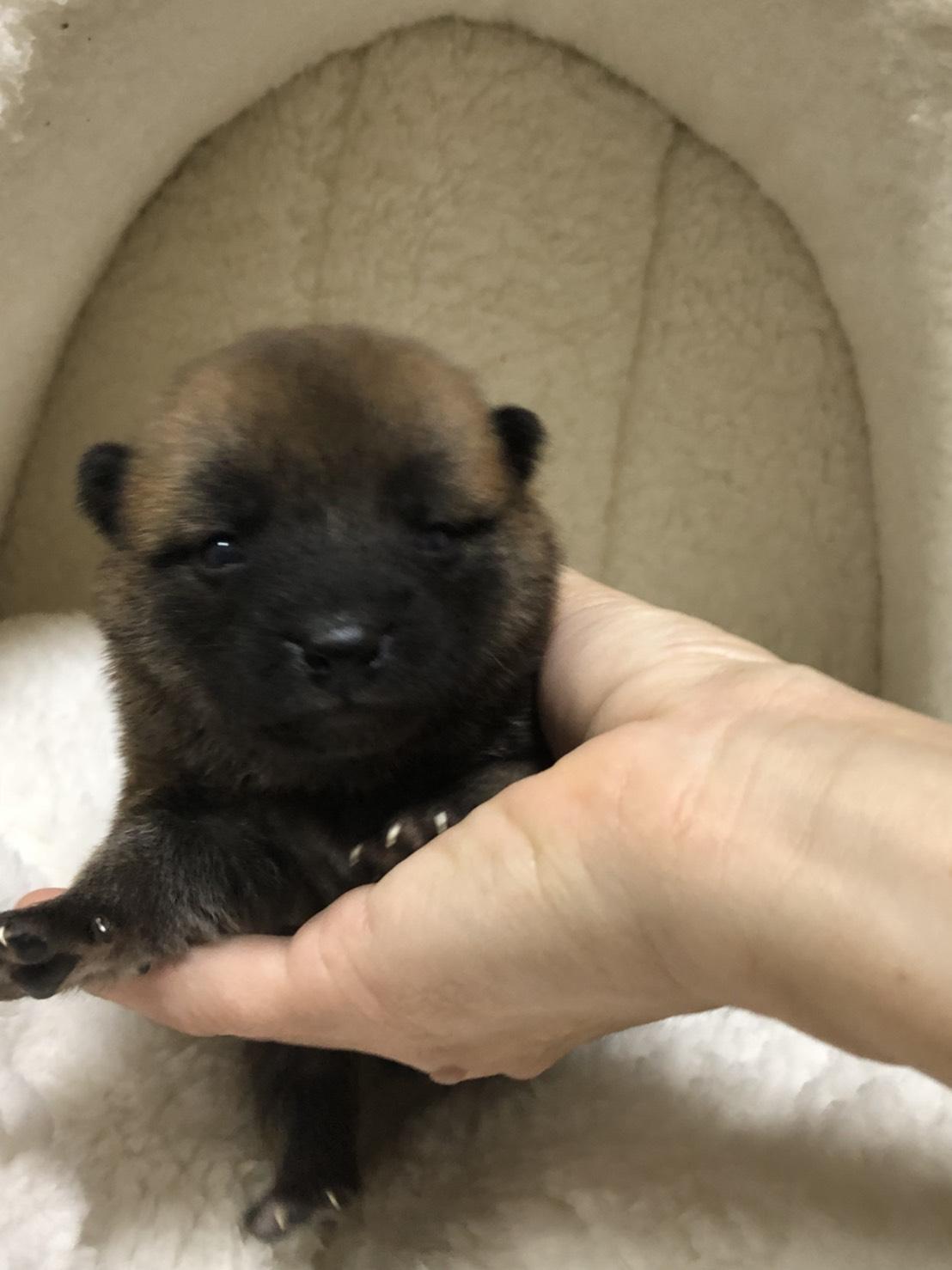 柴犬の仔犬産まれました。