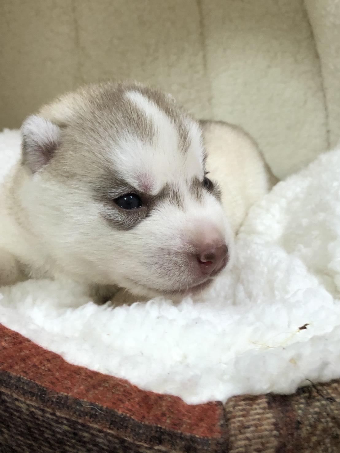 シベリアンハスキーの仔犬