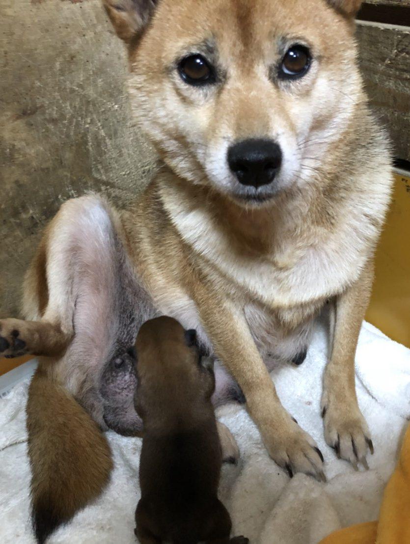 柴犬の仔犬産まれました。女の子           両親共に豆柴