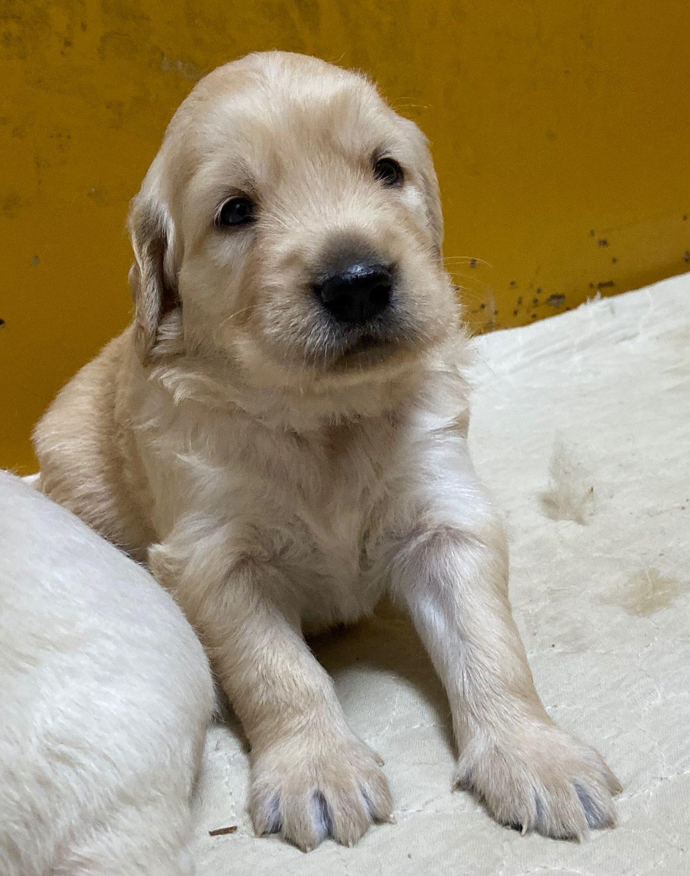 ゴールデンレトリバー仔犬          ご家族が決まりました