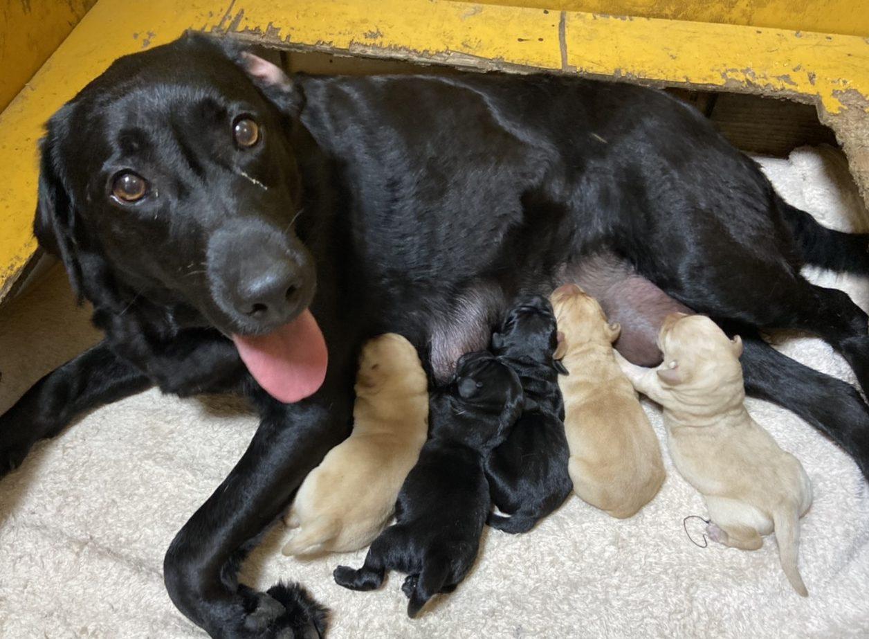 ラブラドールレトリバー仔犬 産まれました。