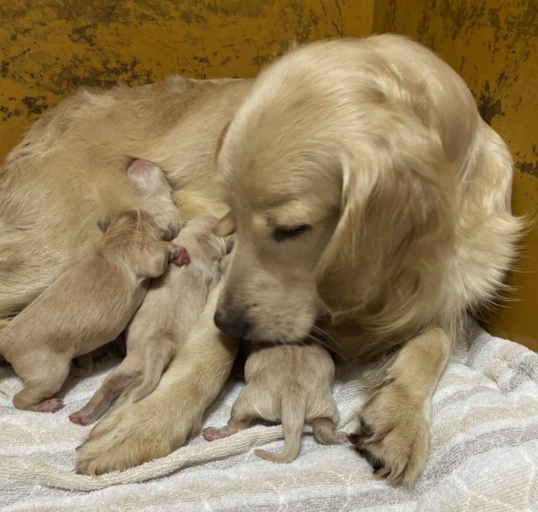 ゴールデンレトリバーの仔犬産まれました。
