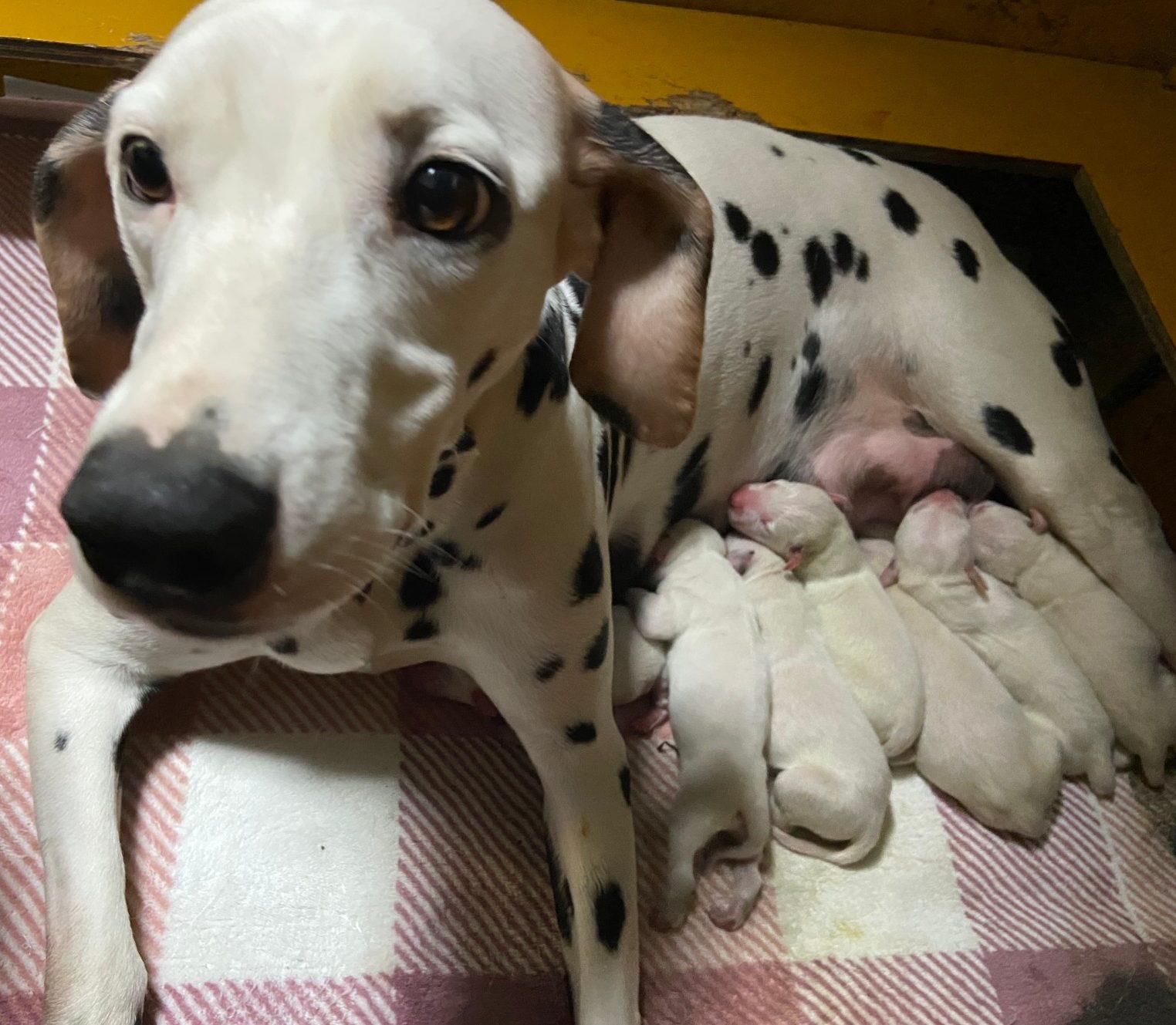 ダルメシアン仔犬産まれました。