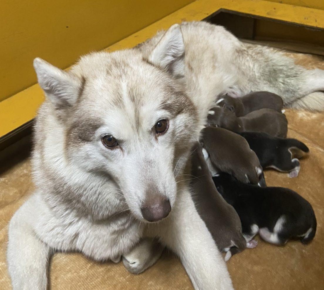 シベリアンハスキー   仔犬生まれました