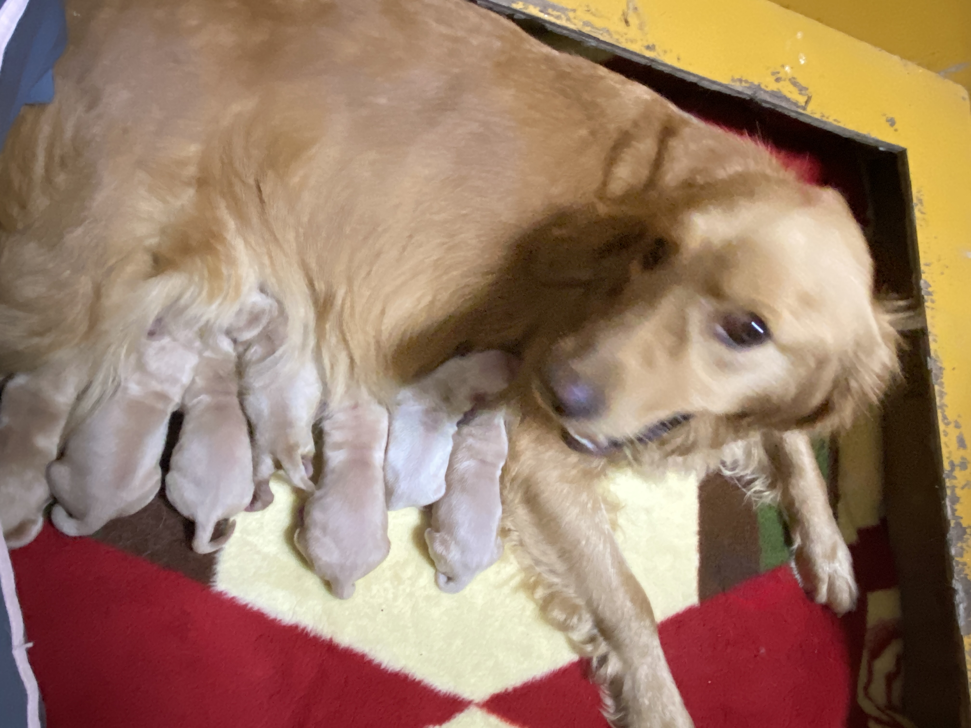 ゴールデンレトリバー      仔犬生まれました