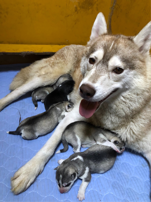 シベリアンハスキーの仔犬女の子                         予約開始