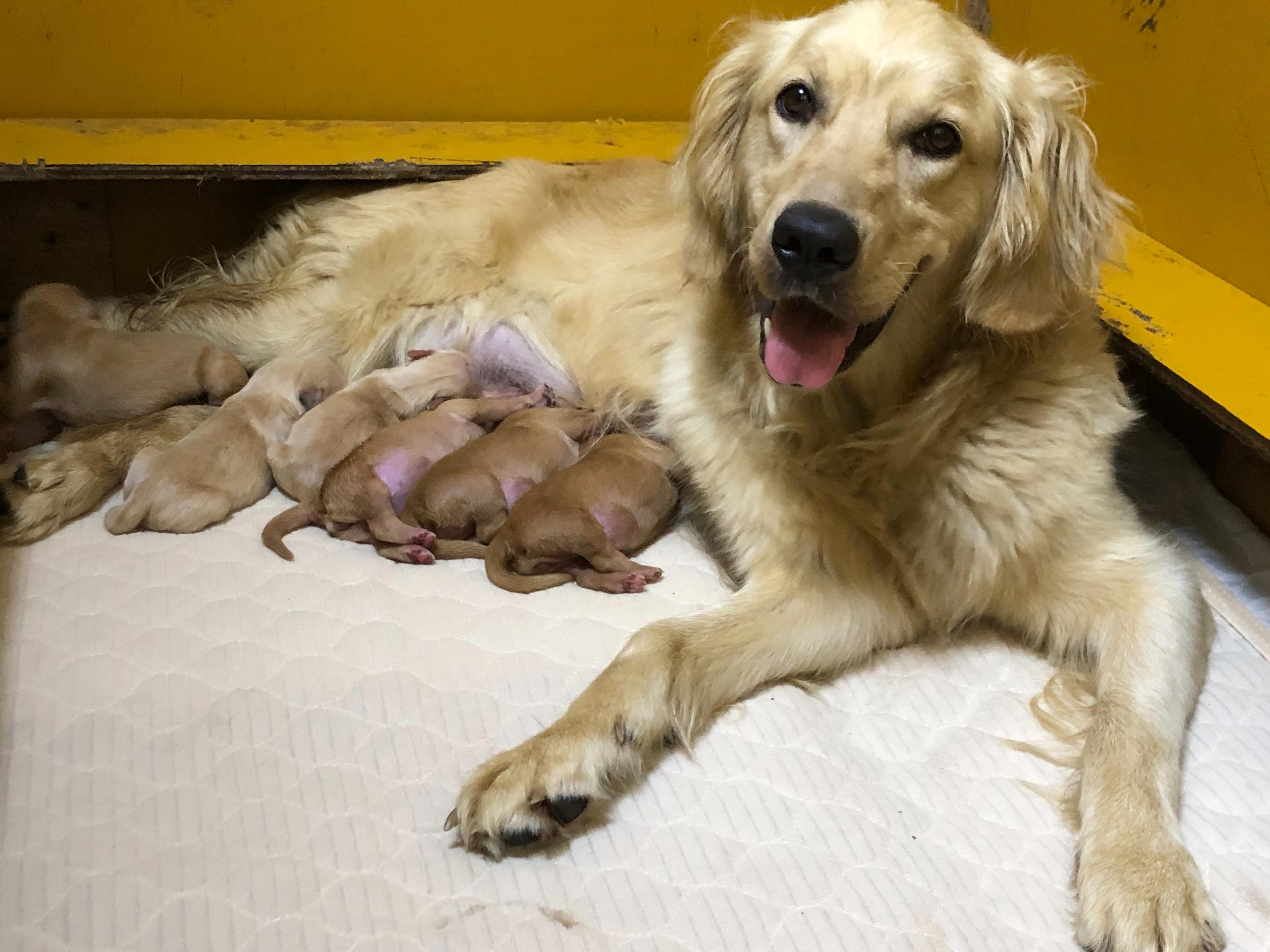 ゴールデンレトリバーの仔犬 男の子                    ご家族が決まりました