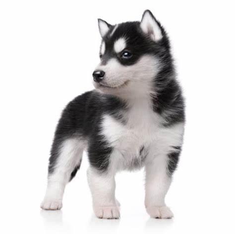 シベリアンハスキーの仔犬産まれています。